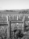 Wijngaard in platteland stock foto