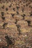 Wijngaard in Ponferrada royalty-vrije stock afbeeldingen