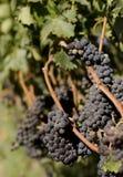 Wijngaard, rode wijnwijnstok Stock Foto