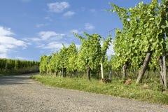 Wijngaard, route du vine in de Elzas. Frankrijk. Stock Fotografie