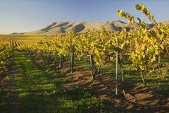 Wijngaard in Santa Maria California stock afbeeldingen