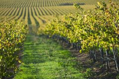 Wijngaard in Santa Maria California stock fotografie