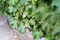 Wijngaard in Santiago City, Chili stock foto's