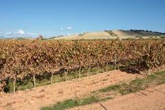 Wijngaard in Sardinige Stock Foto