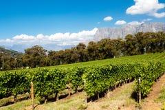 Wijngaard in Stellenbosch Stock Foto's