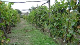 Wijngaard, struiken van druiven Royalty-vrije Stock Fotografie