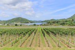 Wijngaard in Thailand Royalty-vrije Stock Fotografie