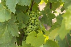 Wijngaard in Tokaj, Hongarije stock fotografie