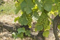 Wijngaard in Tokaj, Hongarije stock foto