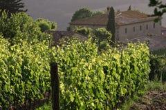 Wijngaard - Toscanië Royalty-vrije Stock Afbeeldingen