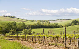 Wijngaard in Toscanië, Italië. Royalty-vrije Stock Foto's