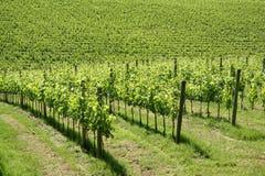 Wijngaard in Toscanië (Italië) Royalty-vrije Stock Foto's