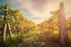 Wijngaard in Toscanië, Italië Wijnlandbouwbedrijf bij zonsondergang wijnoogst Royalty-vrije Stock Afbeelding