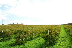 Wijngaard in Trapan, Sicilië stock fotografie