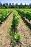 Wijngaard in Val de Loire Royalty-vrije Stock Foto's