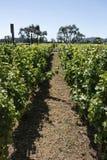 Wijngaard in Vallei Napa stock foto