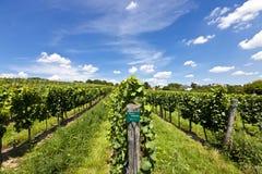 Wijngaard van de druif van Riesling royalty-vrije stock afbeelding