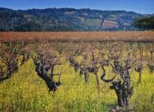 Wijngaard van de Wijnstokken van de Vallei van Napa de Oude, Californië royalty-vrije stock afbeeldingen