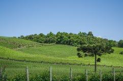 Wijngaard van druiven in Dos Vinhedos van het Dal stock afbeelding