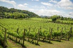 Wijngaard van druiven in Dos Vinhedos van het Dal in Bento Gonçalves, royalty-vrije stock fotografie