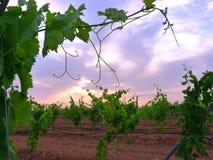 Wijngaard van irrigatie op latwerk met achtergrond 2 van de wolkenzonsondergang Royalty-vrije Stock Fotografie