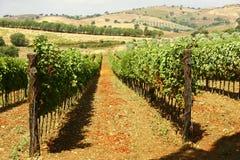 Wijngaard van rode druiven Royalty-vrije Stock Foto