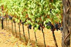 Wijngaard van rode druiven Stock Foto
