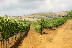 Wijngaard van rode druiven Stock Foto's