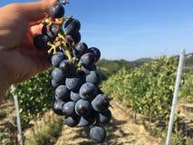 Wijngaard van rode druiven in Toscanië stock afbeelding