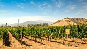 Wijngaard van Sauvignon-Druif Royalty-vrije Stock Afbeeldingen