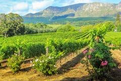 Wijngaard van Stellenbosch Stock Afbeelding