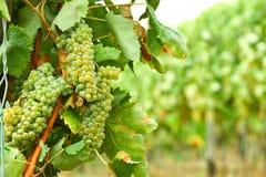 Wijngaard van witte druiven Royalty-vrije Stock Afbeeldingen