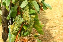 Wijngaard van witte druiven Royalty-vrije Stock Fotografie