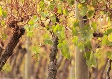 Wijngaard in Victoria, Australië stock foto