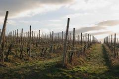 Wijngaard in vroege de lenteochtend Royalty-vrije Stock Foto