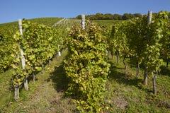 Wijngaard - wijnstokvoorraden Royalty-vrije Stock Foto