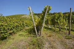 Wijngaard - wijnstokvoorraden Royalty-vrije Stock Afbeeldingen