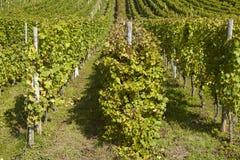 Wijngaard - wijnstokvoorraden Stock Afbeeldingen