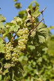 Wijngaard - wijnstokvoorraden Stock Foto