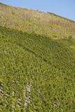 Wijngaard - wijnstokvoorraden Stock Foto's