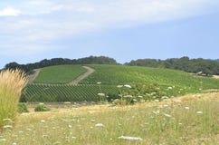 Wijngaard in Willamette-Vallei Stock Foto