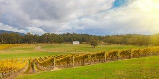 Wijngaard in Yarra-Vallei, Australië bij zonsondergang Royalty-vrije Stock Afbeeldingen