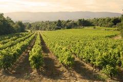 Wijngaard in zonsondergang Royalty-vrije Stock Afbeeldingen