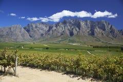 Wijngaard in Zuid-Afrika Stock Foto's