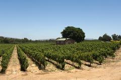 Wijngaard in Zuid-Afrika Royalty-vrije Stock Foto's