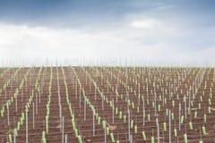 Wijngaardaanplanting en blauwe hemel Royalty-vrije Stock Afbeeldingen