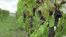 Wijngaardaanplanting van rode druiven stock videobeelden
