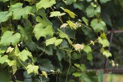 Wijngaardbladeren royalty-vrije stock fotografie