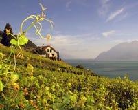 Wijngaarden 4 van Lavaux Zwitserland stock fotografie