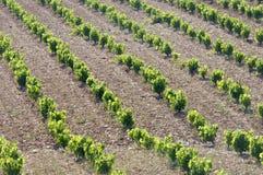 Wijngaarden royalty-vrije stock foto's